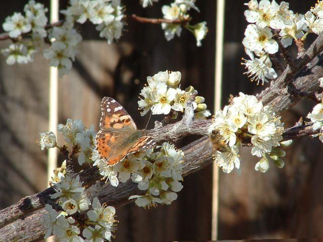 butterfly-bee